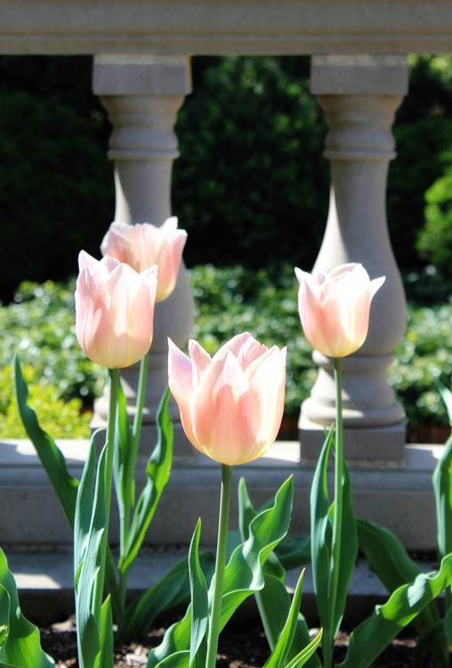 Tulips - Missouri Botanical Garden